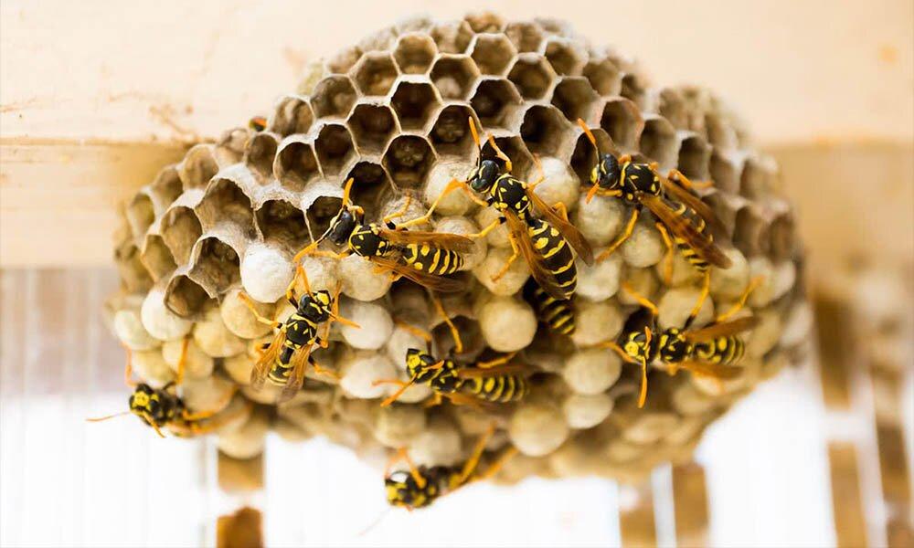 Осиное гнездо: Фото